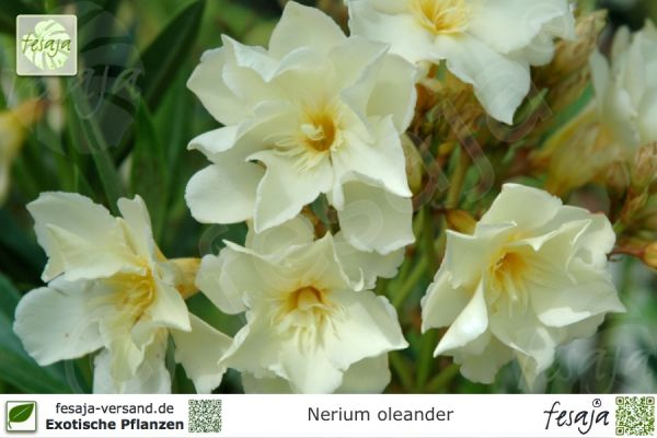 Oleander gelb gefüllt, Nerium oleander, Pflanze