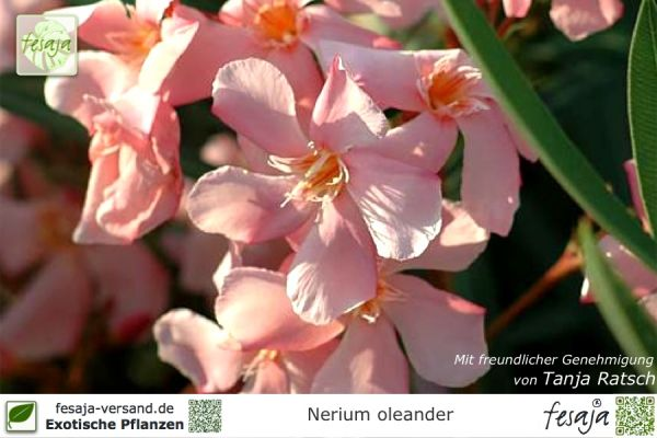 Oleander lachs, Nerium oleander, Pflanze