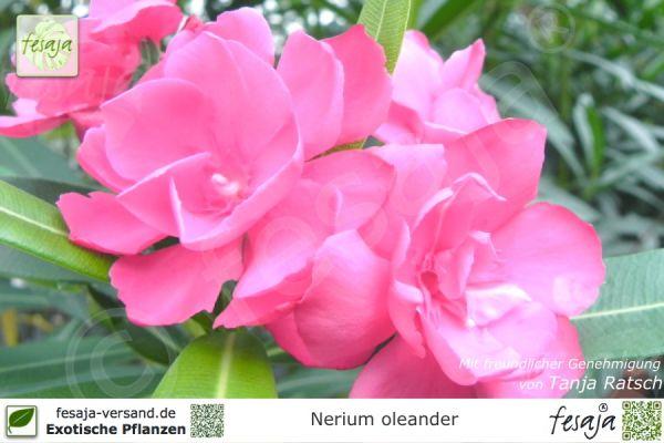 Oleander rosa gefüllt, Nerium oleander, Pflanze