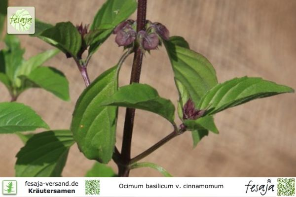 Zimtbasilikum, Ocimum basilicum cinnamomum