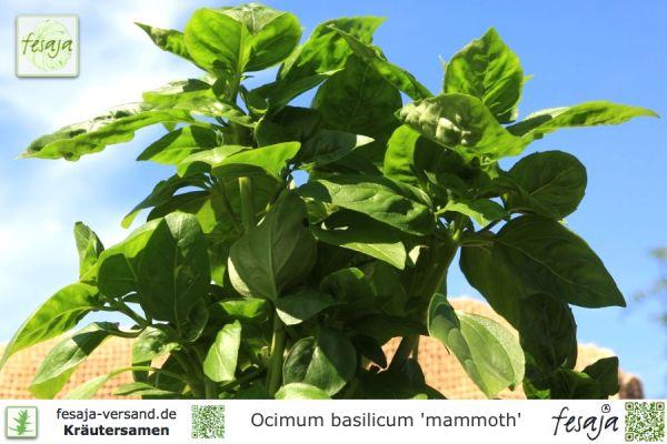 Mammut-Basilikum, Ocimum basilicum mammoth