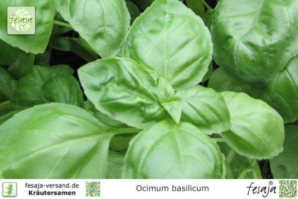 Genoveser Basilikum, Ocimum basilicum