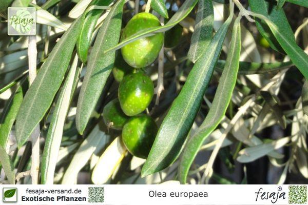 Olive, Ölbaum, Olea europaea, Pflanze