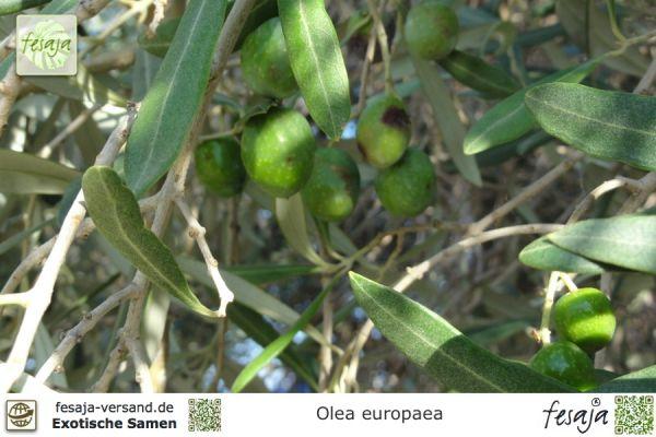 Olivenbaum, Olea europaea