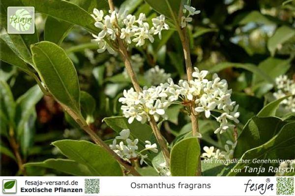 Süße Duftblüte, Osmanthus fragrans, Pflanze