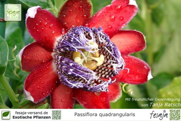 Königsgranadilla, Passiflora quadrangularis, Pflanze
