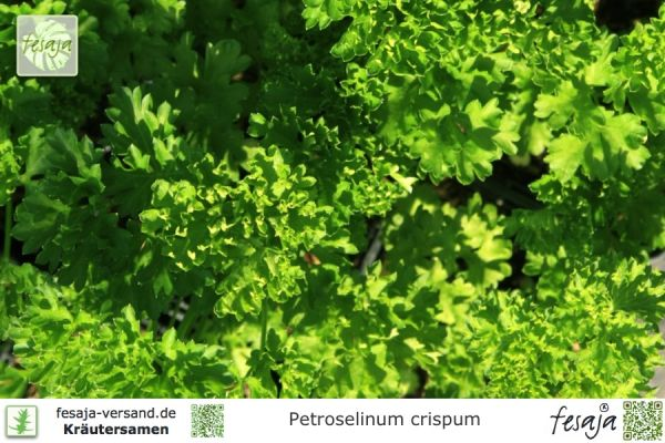 Krause Petersilie, Petroselinum crispum