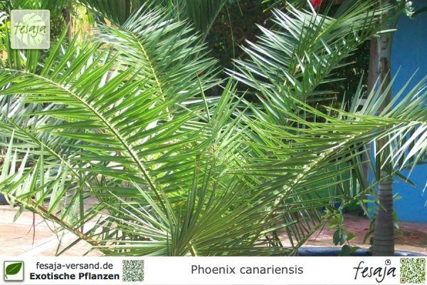 Kanarische Dattelpalme, Phoenix canariensis, Pflanze