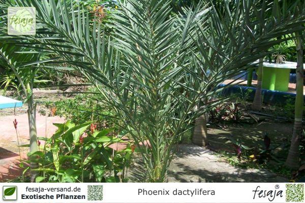 Echte Dattelpalme, Phoenix dactylifera, Pflanze