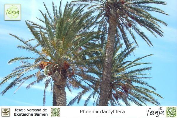 Echte Dattelpalme, Phoenix dactylifera