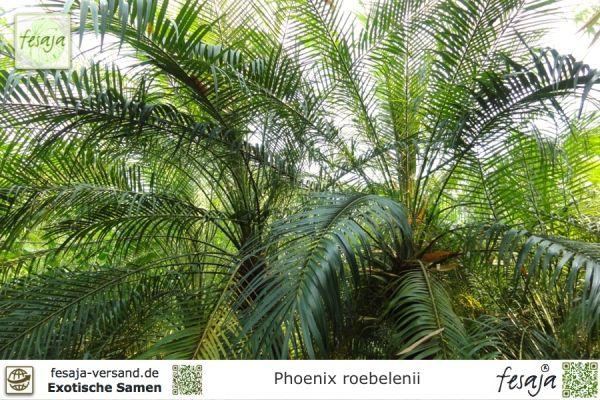 Zwerg-Dattelpalme, Phoenix roebelenii