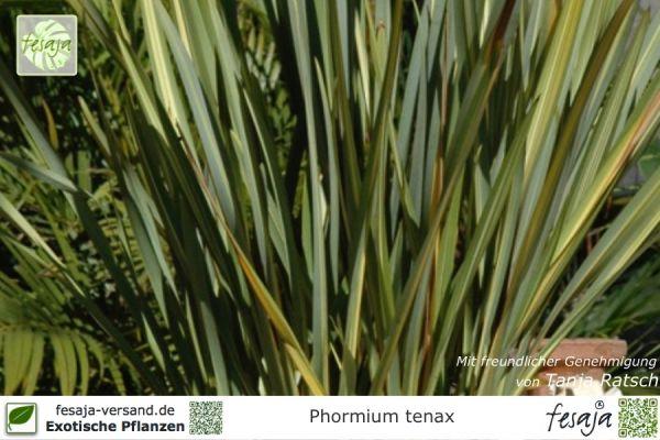Neuseeländer Flachs, Phormium tenax, Pflanze