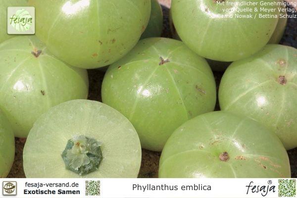 Amlabaum, Amalaki, Phyllanthus emblica