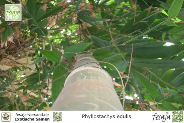 Riesenbambus, Phyllostachys edulis