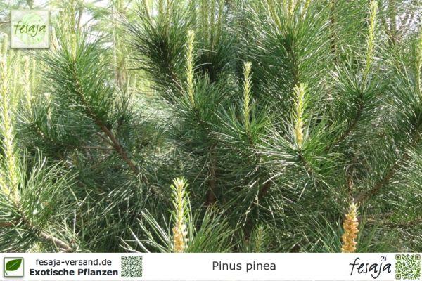 Mittelmeer-Pinie, Pinus pinea, Pflanze