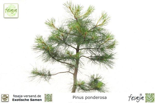 Ponderosa-Kiefer, Pinus ponderosa