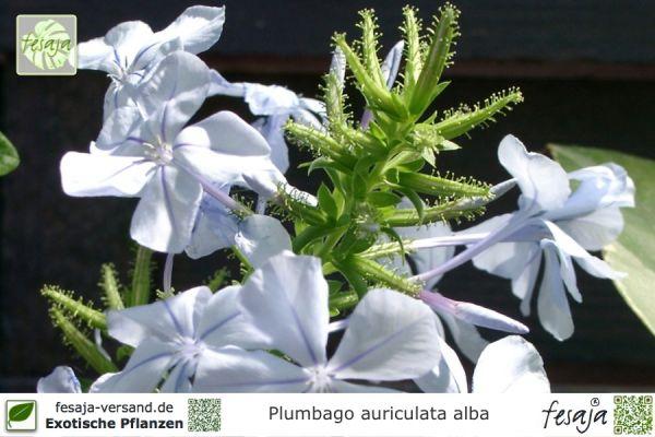 Kap-Bleiwurz weißblühend, Plumbago auriculata alba, Pflanze