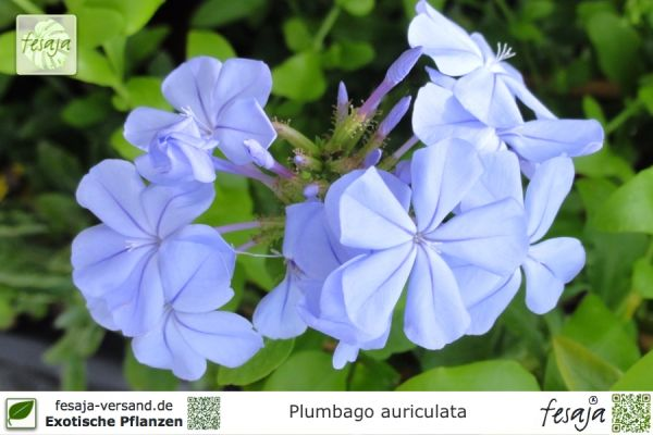 Kap-Bleiwurz, Plumbago auriculata, Pflanze