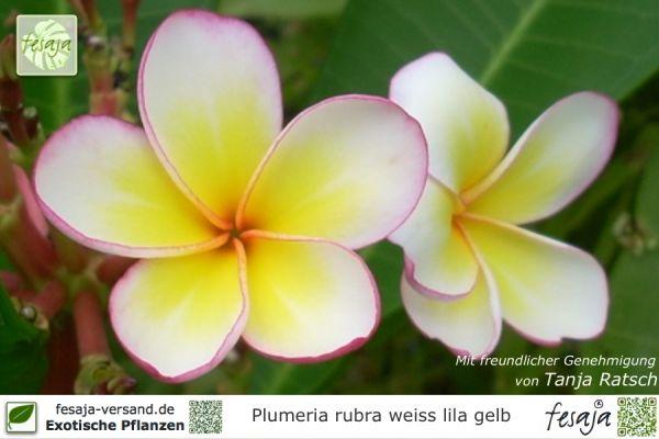 Frangipani weiß-lila-gelb, Plumeria rubra, Pflanze