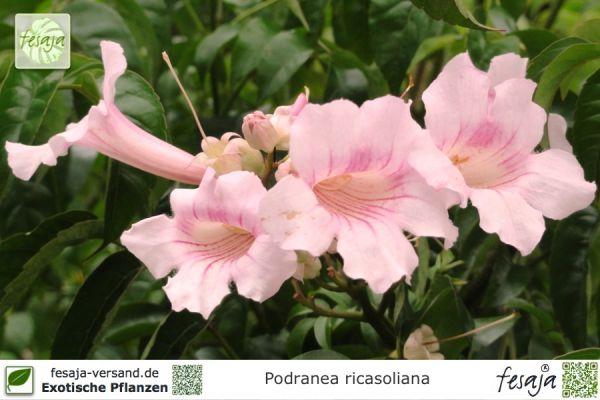 Rosa Trompetenwein, Podranea ricasoliana, Pflanze