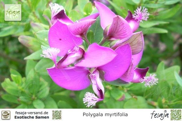 Myrten-Kreuzblume, Polygala myrtifolia