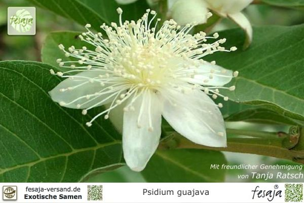 Echte Guave, Psidium guajava