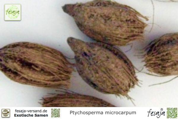 Papua-Neuguinea-Fiederpalme, Ptychosperma microcarpum