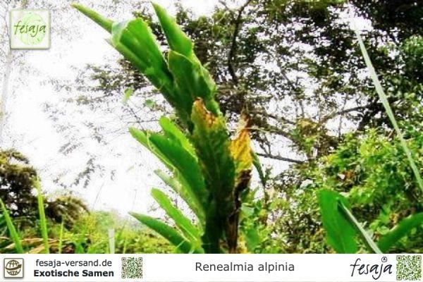 Tropischer Ingwer, Renealmia alpinia