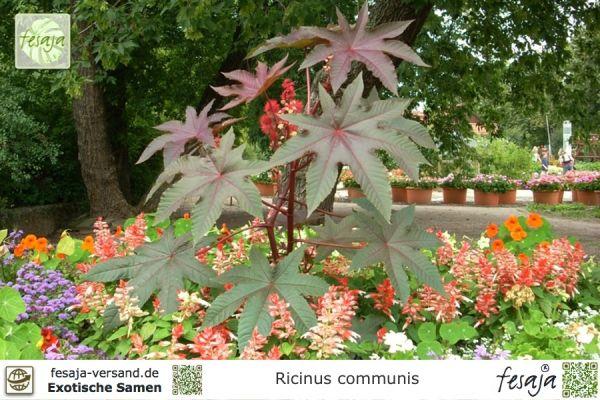 Afrikanischer Wunderbaum, Ricinus communis