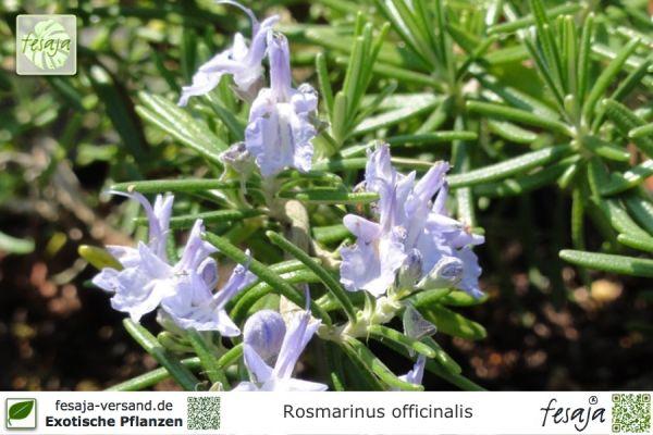 Rosmarin, Salvia rosmarinus, Pflanze