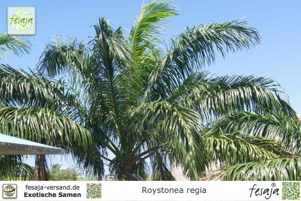Kubanische Königspalme, Roystonea regia