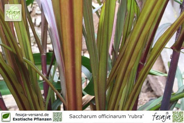 Zuckerrohr rote Halme, Saccharum officinarum, Pflanze