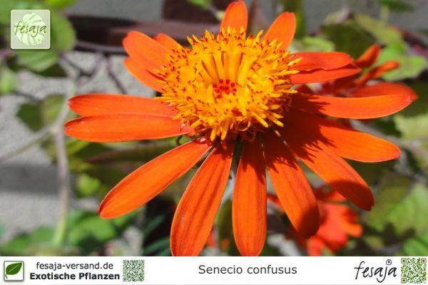 Mexikanischer Flammenwein, Senecio confusus, Pflanze