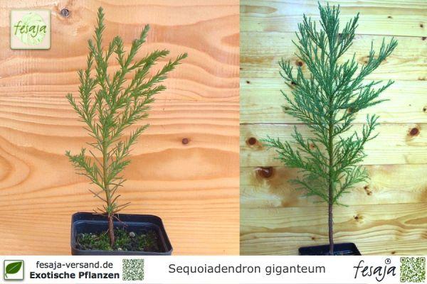 Berg-Mammutbaum, Sequoiadendron giganteum, Pflanze