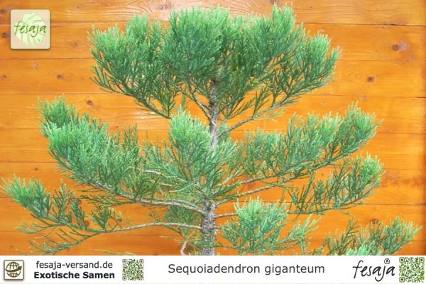 Riesenmammutbaum, Sequoiadendron giganteum