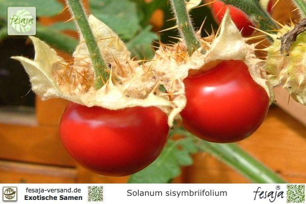 Litschi-Tomate, Lulita, Solanum sisymbriifolium