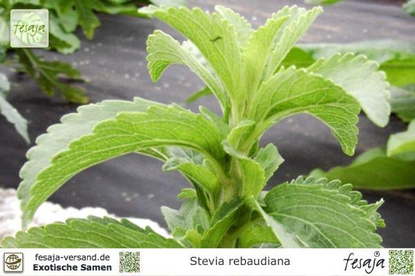 Süßkraut, Stevia rebaudiana