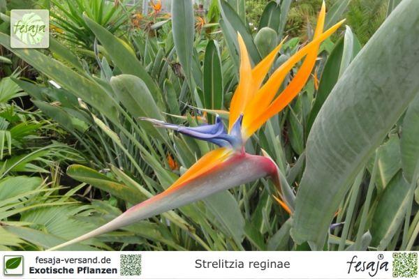 Paradiesvogelblume, Strelitzia reginae, Pflanze