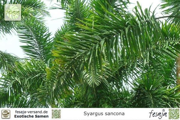 Kolumbianische Fuchsschwanz-Palme, Syagrus sancona
