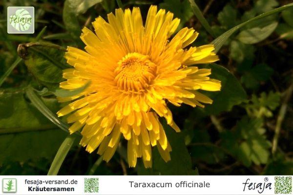 Gewöhnlicher Löwenzahn, Taraxacum officinale