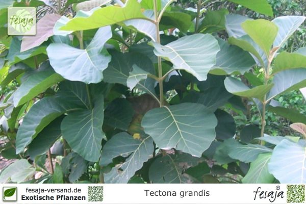 Teakholzbaum, Tectona grandis, Pflanze