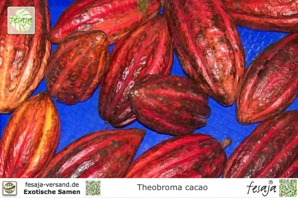 Kakaobaum, Theobroma cacao