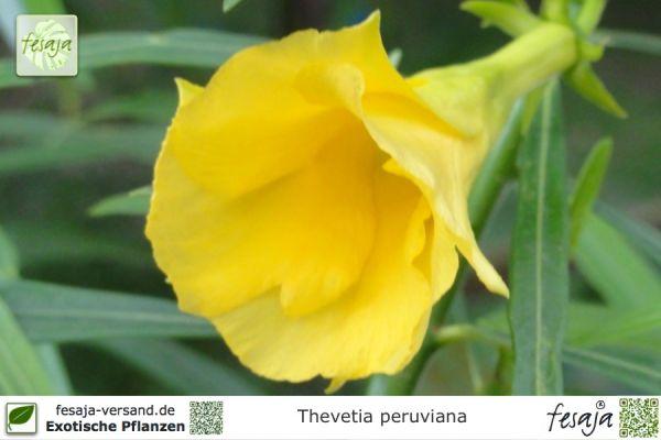 Schellenbaum, Thevetia peruviana, Pflanze