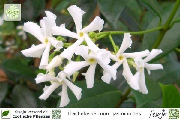 Sternjasmin, Trachelospermum jasminoides, Pflanze