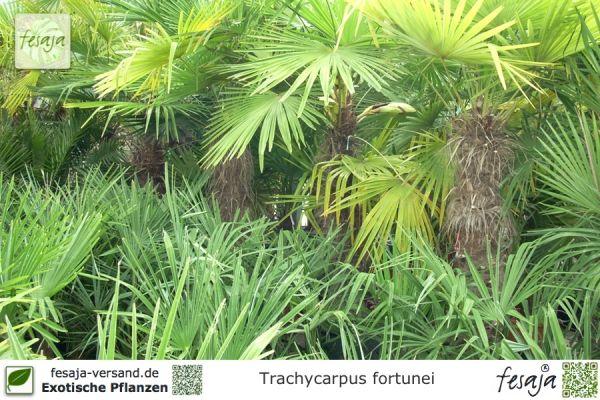 Chinesische Hanfpalme, Trachycarpus fortunei, Pflanze