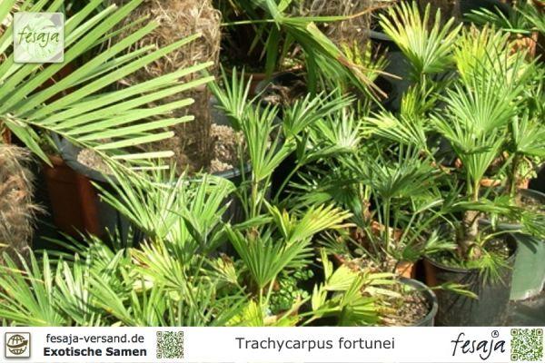 Chinesische Hanfpalme, Trachycarpus fortunei