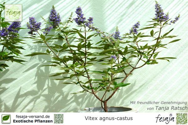 Mönchspfeffer, Vitex agnus-castus, Pflanze