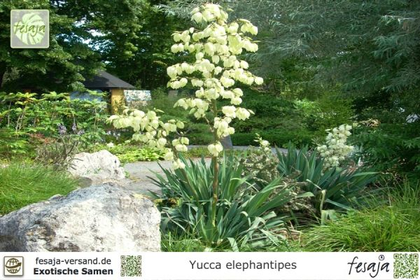 Riesen-Palmlilie, Yucca elephantipes
