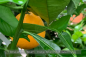 Preview: Citrus sinensis Navelina Pflanze