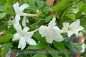 Mobile Preview: Jasminum officinale Pflanzen